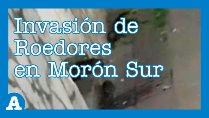 Morón: Invasión de Roedores