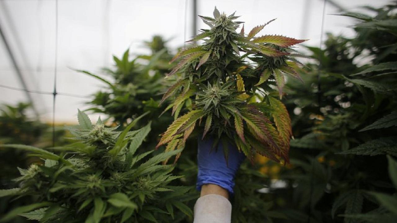 Cannabis: Legalizaron el